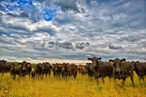 Focus Marketing Group | Your Complete Source for Livestock Marketing | Livestock Cattle in Field with Blue Sky