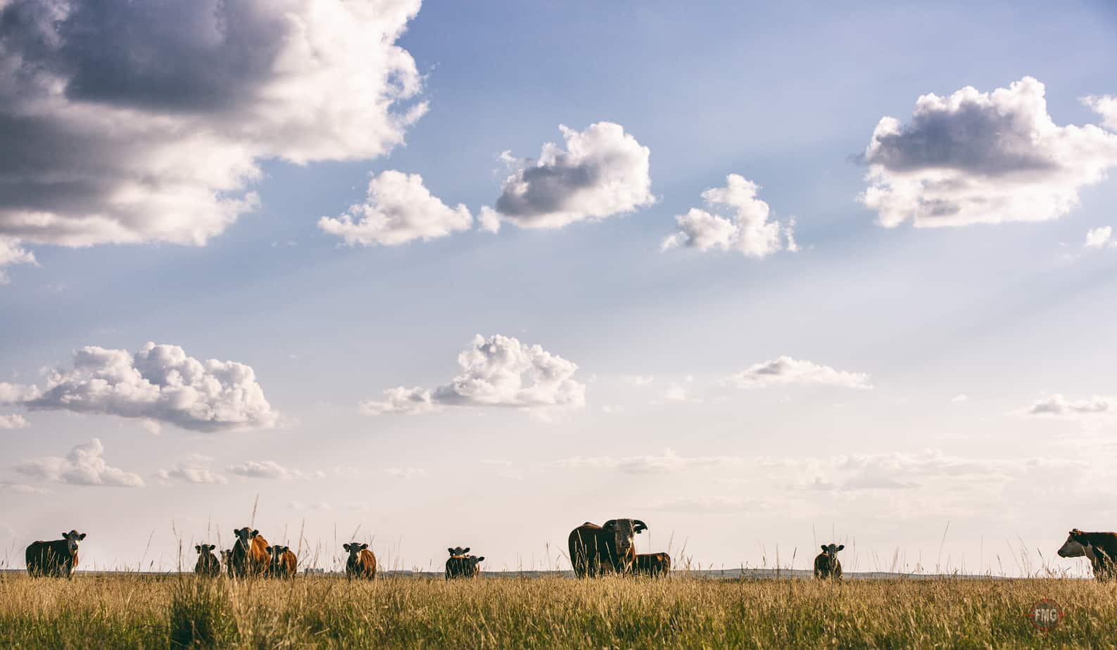 Focus Marketing Group | Your Complete Source for Livestock Marketing | Livestock Cows in Field Photography