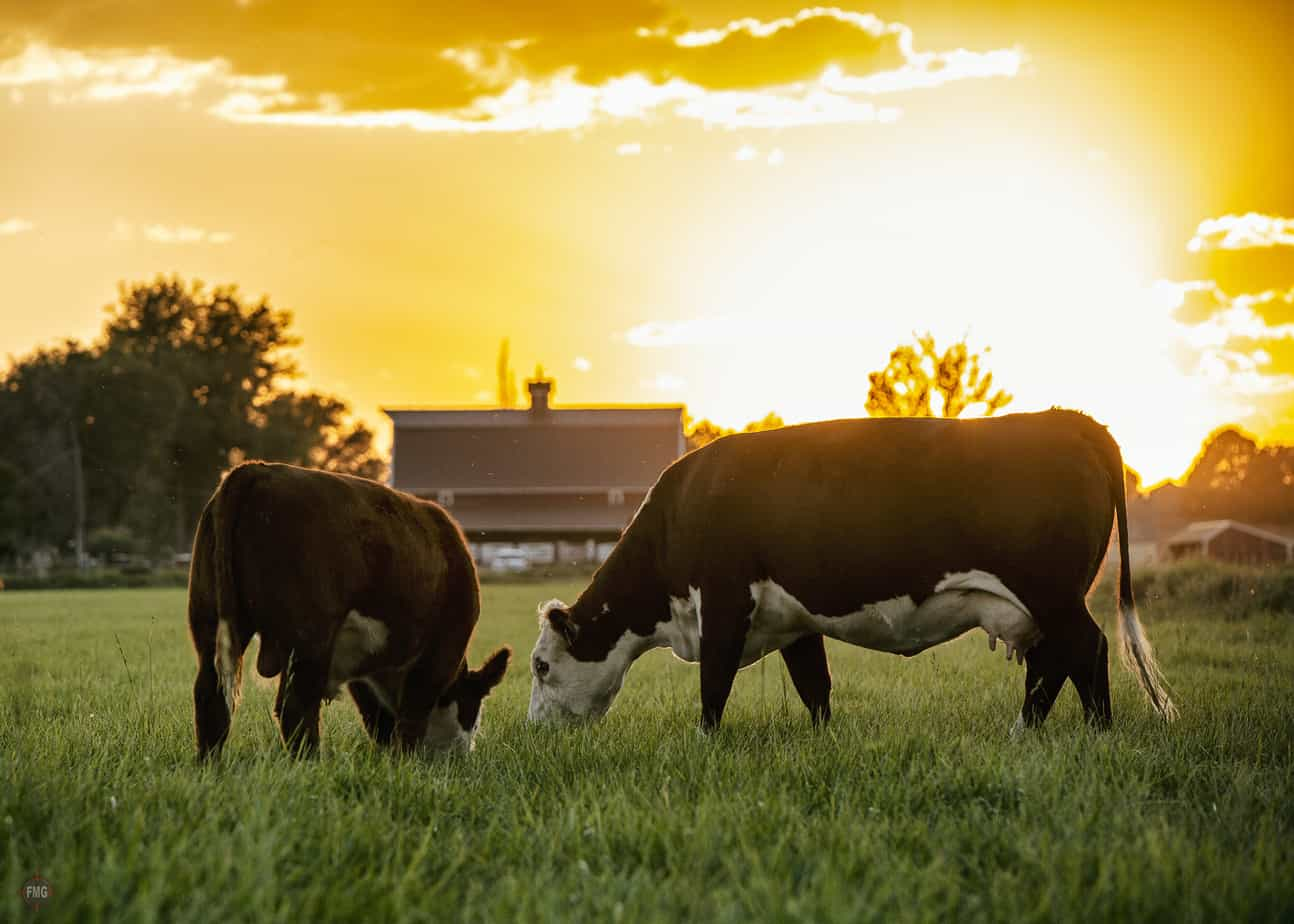 Focus Marketing Group   Your Complete Source for Livestock Marketing   Livestock Cows Eating Photography Wyatt Devries
