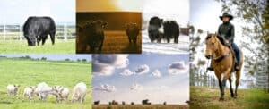 Focus Marketing Group | Your Complete Source for Livestock Marketing | Livestock Collage of Cattle Ranching Farming Cowboy