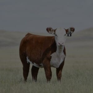 Focus Marketing Group   Your Complete Source for Livestock Marketing   Livestock Heifer in Field Photography Kyla Copeland